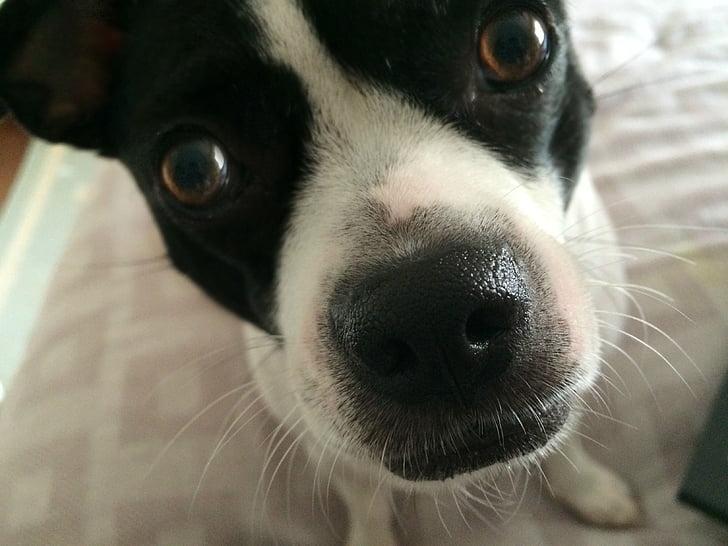 gos, rescat, animal de companyia, domèstics valent, gran nas, aspecte divertit, animals divertits