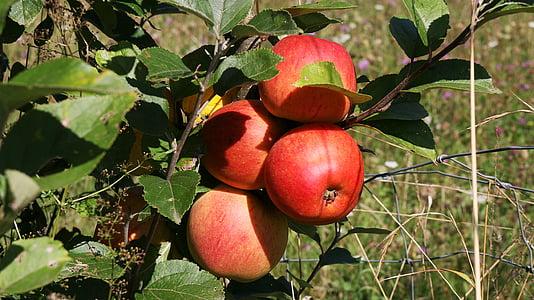 Viljapuu, puu, puu, õunad, punane, võimsus