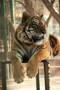 tiger, zoo, wild, africa, feline, surveying, wild animals