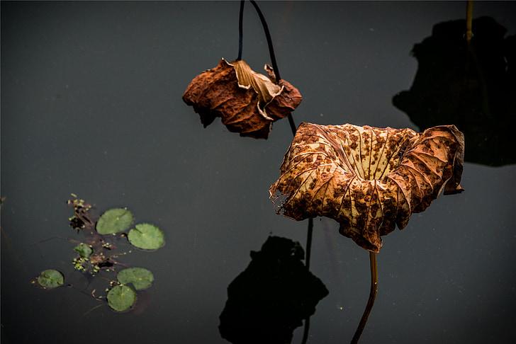 lotoso, uschłą, vandens, geltona, židinio