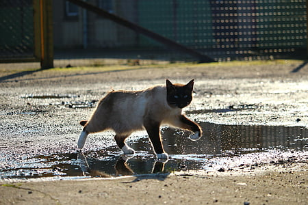 cat, siamese cat, siam, breed cat, water, paws, wet
