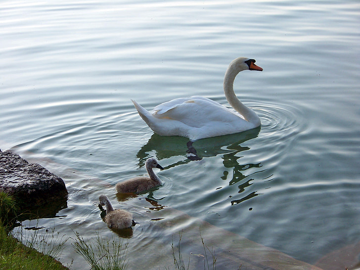 animals, birds, swans, lake bled, family, young, slovenia