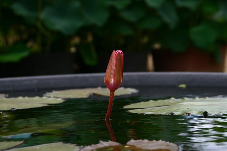 lotus, flowers, buddhism, pond