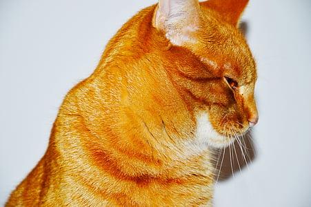 червена котка, котка, коте