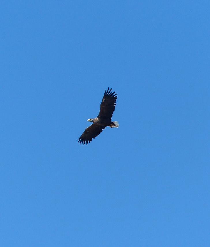 valkoinen pyrstö eagle, jäsenen, Usedom