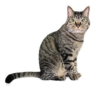 cat, aemyo, pet, cats, domestic Cat, pets, animal