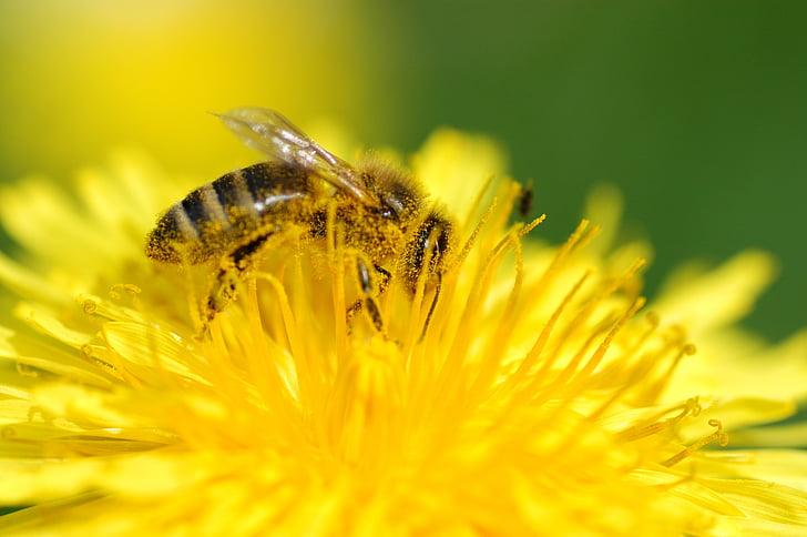 Бджола, завжди, Пилок, Комаха, Природа, макрос, нектар
