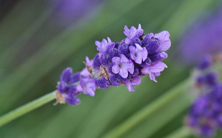 Levanda, levandų žiedų, žiedų, žydėti, violetinė, levandų gėlės, gėlė