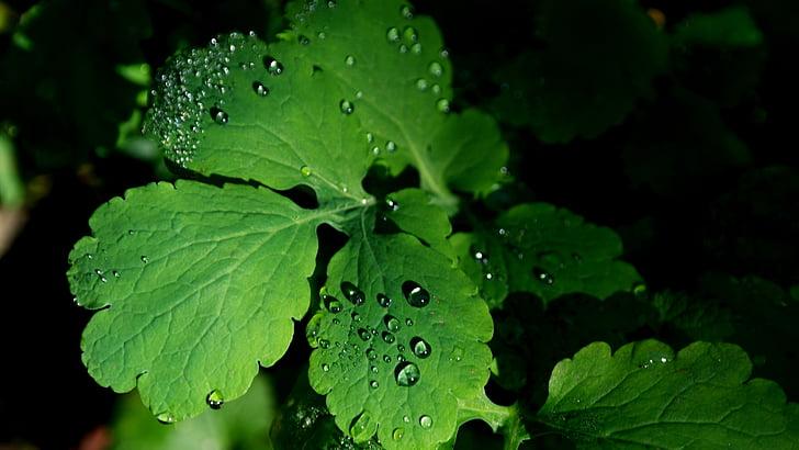 listy, Rosy, Zelená, dewdrop, kvapky vody, jeseň, rastlín