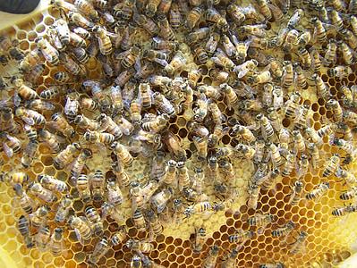 Reina, abella reina, mel, abella, Colònia, rusc, treballador