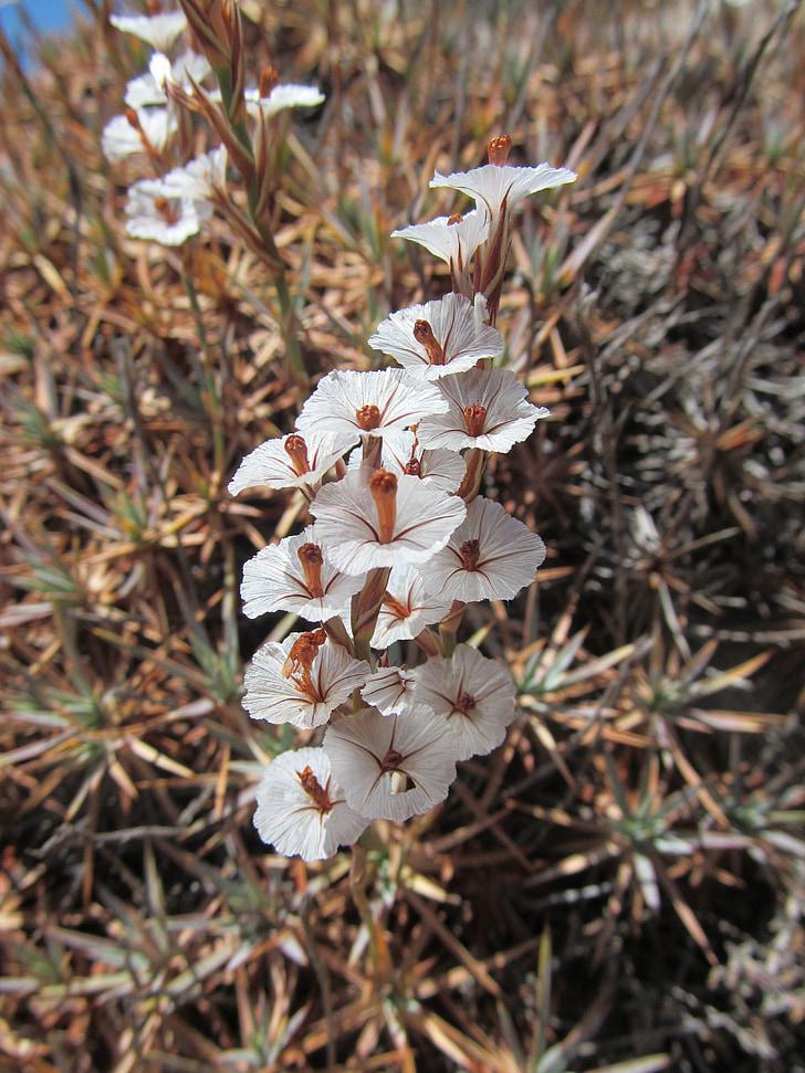 selle acantholimon, priimula, taim, lill, Flora, valge, loodus