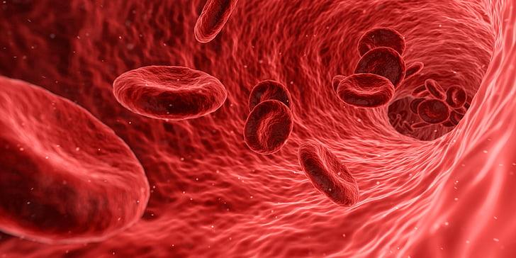 vere, rakkude, punane, meditsiinilise, ravimi, anatoomia, tervise