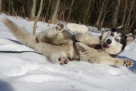 husky, sled dogs, adamczak, dog, snow, winter, sled Dog
