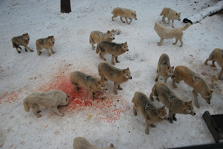 wolves, wolf, wild, wildlife, predator, animal, beast