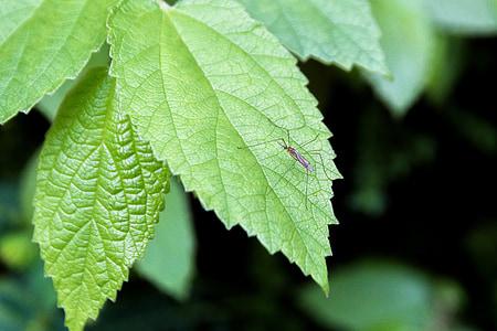 El mosquit, mosquits masculins, els pantalons de mosquit, fulles de tardor