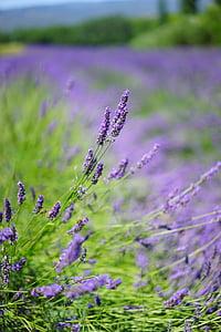 Λεβάντα, Λεβάντα πεδίο, άνθη λεβάντας, μπλε, λουλούδια, μωβ, dunkellia