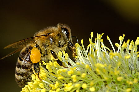 abelles, pol·linització, insecte, macro, treball, pol·len, mel