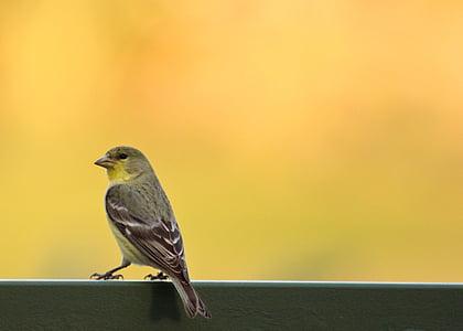 птица, чинка, природата, дива природа, животните, малки, жълто