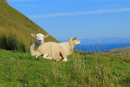 scotland, isle of skye, sheep, landscape, mountains, sea