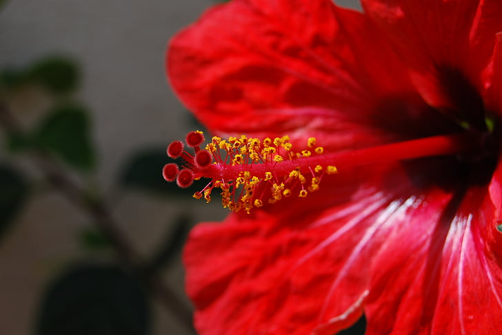 flor, macro, vermell, brillant, estams