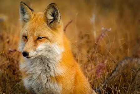 Fox, động vật, động vật hoang dã, màu đỏ, vĩ mô, cận cảnh, cảnh quan