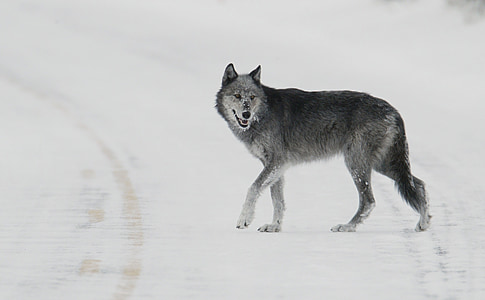 wolf, lone, predator, snow, wildlife, nature, wild