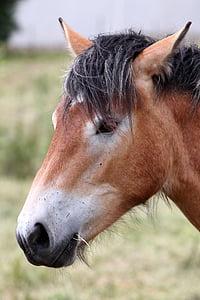 konj, konjsku glavu, pferdeportrait, životinja, kaltblut, Mare, priroda
