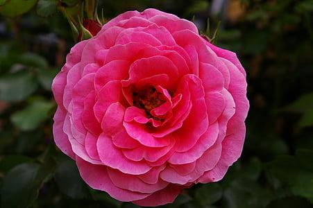 τριαντάφυλλο, ροζ τριαντάφυλλο, αρωματικό τριαντάφυλλο, κήπο με τριανταφυλλιές, άνθος, άνθιση, αυξήθηκαν οι ανθίσεις