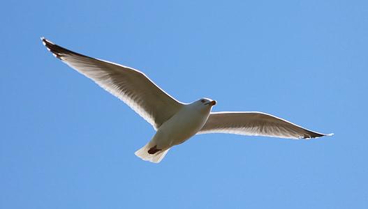 Gavina, volant, ocell, en vol, cel, natura, Gavina