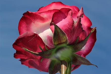 上升, 粉红色的玫瑰, 从底部, 开花, 绽放, 香味, 玫瑰绽放