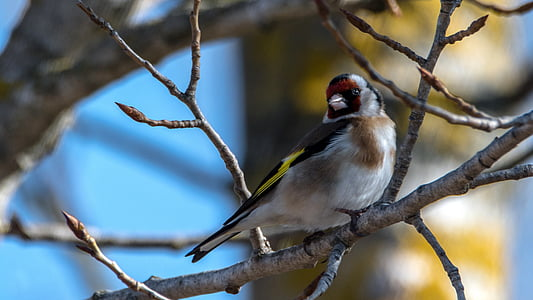 Кадънка, птица, малки, певица, природата, фон, клюн