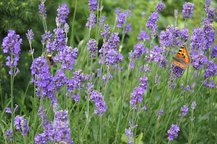 lavendel, plant, paarse bloem, lavendel in de tuin, Lavandula, lavendel en vlinder, vlinder
