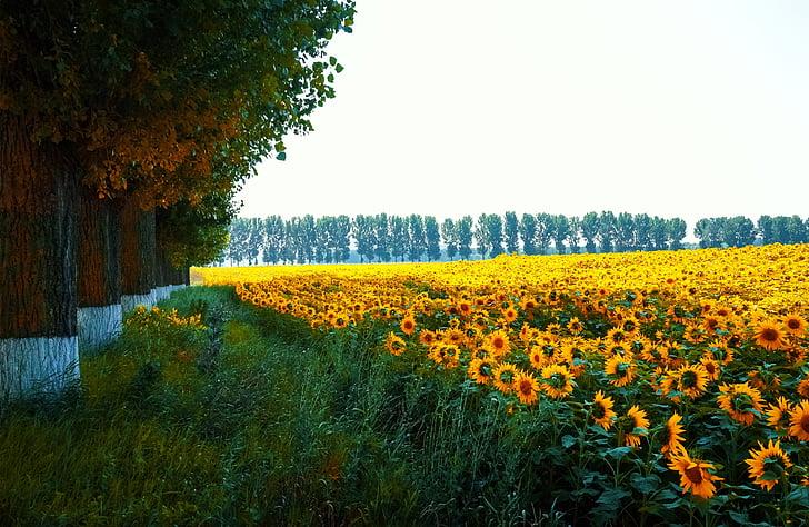 krajolik, priroda, suncokreti, priroda, vanjski, Zemljište, prirodni