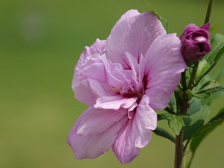 flor, hibisc, Rosa