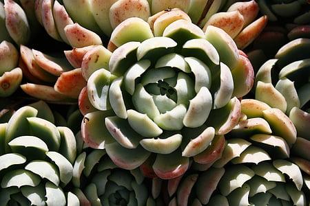 pianta succulenta, Colore, verde, rosso