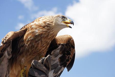 orol skalný, zviera, vták, Bill, Adler, Raptor, dravých vtákov