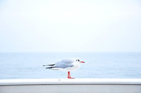eläinten, nokka, lintu, Dove, Horizon, Ocean, kyyhkynen