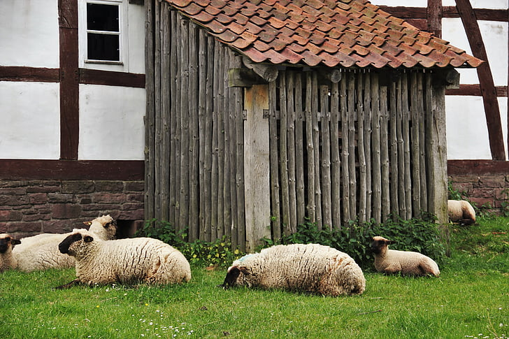lampaat, sisätila lampaita varten, Farm, epätavalliseen barn, lounastauko, Snooze, loput