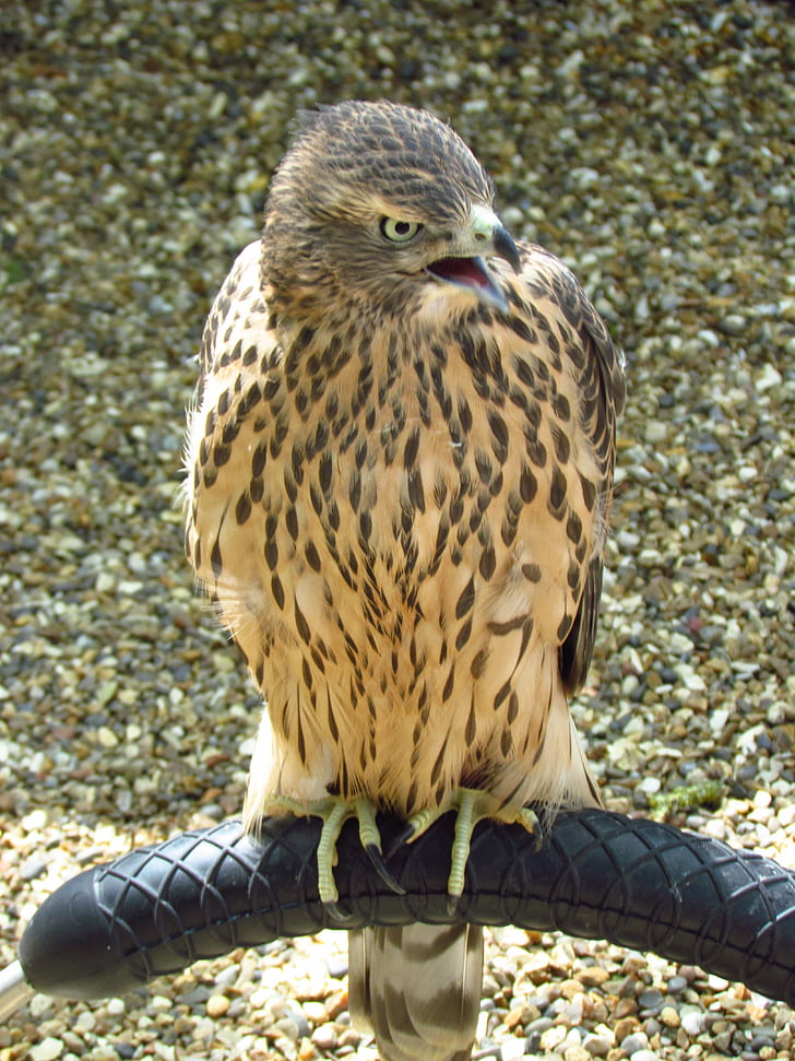 bird, nature, animal, bird of prey
