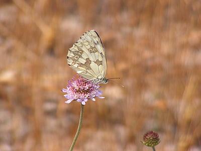 vlinder, natuur, bloem, insect, Dom, veld, vlinder vleugels