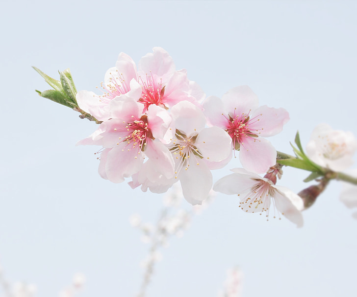 peach blossom, the scenery, flowers, nature, pink Color, branch, tree