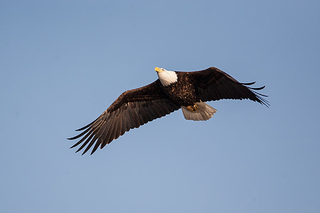 растящите, птица, раптор, полет, плаващи, диви, дива природа