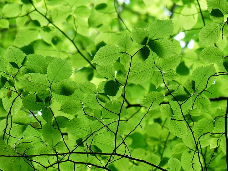 listy, Baldachýn, Zelená, Farba, odtiene zelenej, zelená zelená, strom