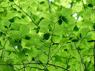 yaprakları, gölgelik, Yeşil, Renk, yeşil tonları, yeşil yeşil, ağaç