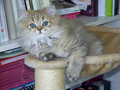 cat, persian, persian golden, animal, kitten, look, baby cat