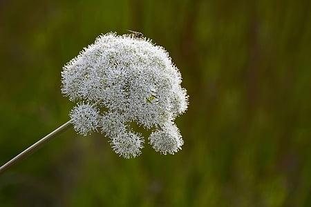 bosc-Angèlica, Apiaceae, doldengewächse, planta, flor, natura, blanc