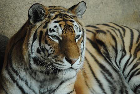 tiger, wild animal, zoo, wild, predator, animals