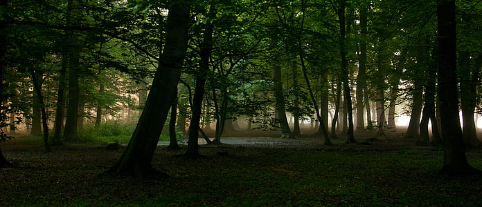 forest, morning, nature, trees, sunrise, scenery, mist