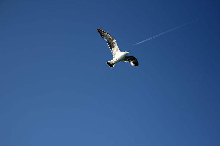 seagull, sky, tail, fly, blue, wallpaper, the sky