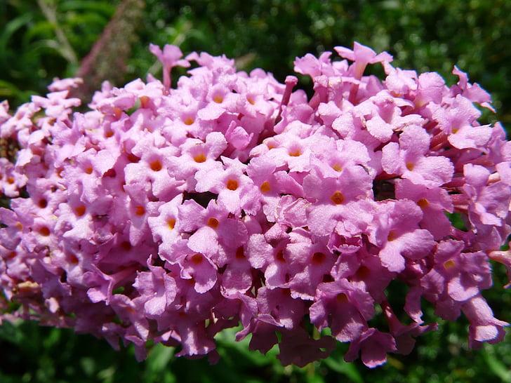 liliowy lato, Buddleja, kwiat, roślina, kolorowe, piękne, Latem